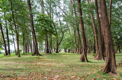 Árboles de pino y playas tropicales Por completo de hojas del bre del mar fotos de archivo