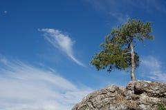 Árboles de pinos Imagen de archivo libre de regalías