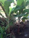Árboles de plátano Foto de archivo