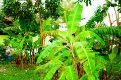 Árboles de plátano Fotos de archivo