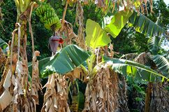 Árboles de plátano con las frutas en el valle de Vinales, Cuba Imagen de archivo