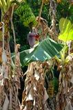 Árboles de plátano en el valle de Vinales, Cuba Foto de archivo