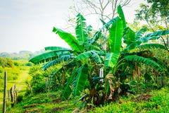 Árboles de plátano mexicanos Foto de archivo