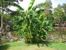 Árboles de plátano que pasan por alto el agua Fotografía de archivo