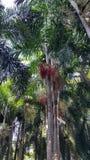 Árboles de Plam con las frutas rojas Fotografía de archivo