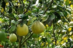 Árboles de pomelo Imagenes de archivo