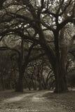 Árboles de roble foto de archivo libre de regalías