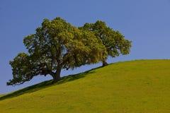 Árboles de roble hermosos en una colina verde con el cielo azul Foto de archivo libre de regalías
