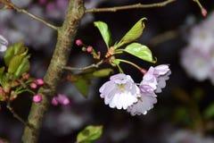 Árboles de Sakura en la noche Imagenes de archivo