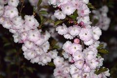 Árboles de Sakura en la noche Foto de archivo libre de regalías