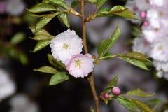 Árboles de Sakura en la noche Imagen de archivo libre de regalías