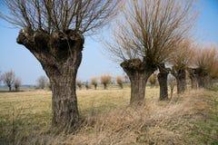 Árboles de sauce en una fila Imágenes de archivo libres de regalías