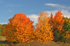 Árboles de Sugar Maple en caída Imágenes de archivo libres de regalías