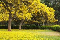 Árboles de Tabebuia Argentea en la plena floración Foto de archivo libre de regalías