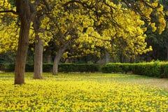 Árboles de Tabebuia Argentea en la plena floración Imagen de archivo