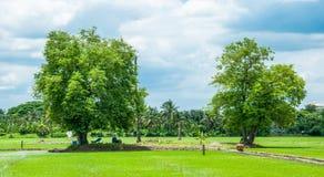 Árboles de tamarindo en fondo del campo de arroz Fotografía de archivo libre de regalías