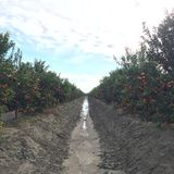 Árboles de Tamgerine en una granja Fotos de archivo libres de regalías