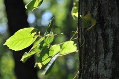 Árboles de Tennessee Imagen de archivo libre de regalías