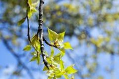 Árboles de tilo en la primavera Imagen de archivo