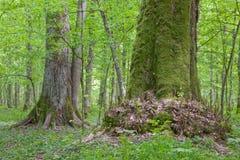 Árboles de tilo viejos en el bosque del verano Fotografía de archivo