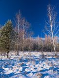 Árboles de un abedul en el invierno Fotos de archivo