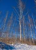 Árboles de un abedul en el invierno Imagen de archivo libre de regalías