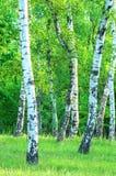 Árboles de un abedul en un prado Imagen de archivo libre de regalías