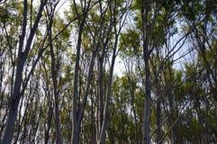 Árboles de Zelcova Fotografía de archivo