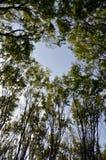 Árboles de Zelcova Fotos de archivo libres de regalías