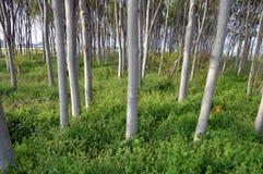 Árboles de Zelcova Foto de archivo libre de regalías