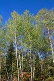 Árboles del álamo temblón de la caída Fotografía de archivo libre de regalías