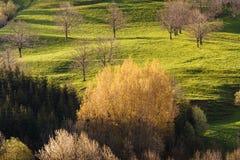Árboles del álamo temblón del brote en primavera temprana Imágenes de archivo libres de regalías