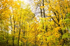 Árboles del abedul amarillo y del álamo temblón en el bosque Foto de archivo
