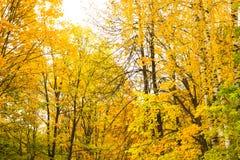 Árboles del abedul amarillo y del álamo temblón en el bosque Fotos de archivo