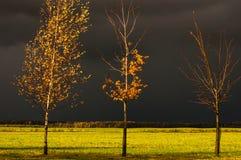 Árboles del abedul y de arce en las hojas del amarillo en el fondo de nubes tempestuosas Fotos de archivo