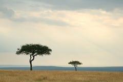 Árboles del acacia Imágenes de archivo libres de regalías