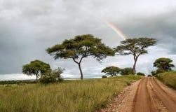 Árboles del acacia con el arco iris foto de archivo