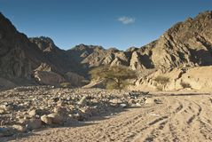 Árboles del acacia en el desierto de Sinaí. Foto de archivo libre de regalías