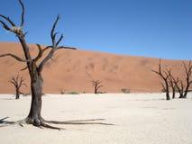 Árboles del acacia en el vlei muerto, Sossusvlei Imagenes de archivo