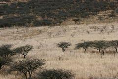 Árboles del acacia en pistas de la hierba imagen de archivo