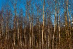 Árboles del aliso y de abedul en bosque del otoño Imagen de archivo