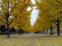 Árboles del amarillo del biloba del ginco del otoño fotografía de archivo libre de regalías