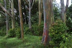 Árboles del arco iris, Maui, Hawaii Fotografía de archivo
