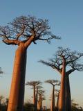Árboles del baobab foto de archivo