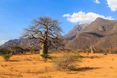 Árboles del baobab en un valle en Tanzania Imagenes de archivo