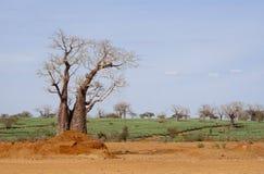 Árboles del baobab y plantaciones de té en Kenia. Fotos de archivo libres de regalías