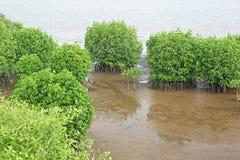 Árboles del bosque del mangle Imagenes de archivo