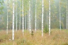 Árboles del bosque y de abedul del otoño fotografía de archivo