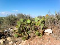Árboles del cactus alrededor de las calles de U S A fotografía de archivo libre de regalías