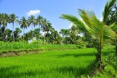 Árboles del campo y de coco del arroz Imagen de archivo libre de regalías